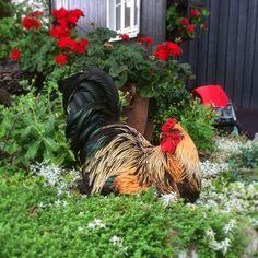 Gardening, Rooster, Lawn And Garden, Horticulture, Chicken
