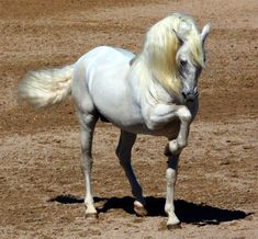 The Andalusian, also known as the Pure Spanish Horse or PRE (Pura Raza Espanola), is a horse breed from the Iberian Peninsula, where its…