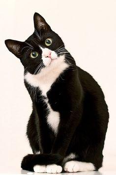 (`・ェ・´*)? Tuxedo cat!