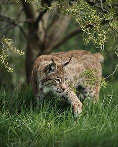 «Eurasian Lynx - Photo by ©Colin Langford #WildlifePlanet»