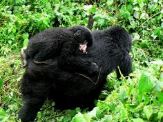 The devastating effect of a poachers snare on a baby gorilla