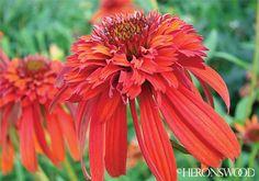 Echinacea 'Hot Papaya' PP21022  Coneflower
