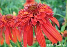 Echinacea 'Hot Papaya' PP21022  Coneflower