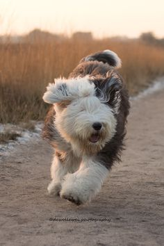 Take time to have fun! Chien Bobtail, Dogs And Puppies, Doggies, Sheep Dogs, Australian Labradoodle, Bearded Collie, Havanese Dogs, Fluffy Dogs, Old English Sheepdog