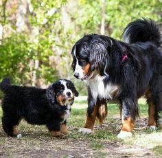 Beautiful Bernese Mountain Dogs