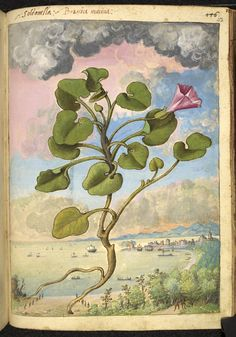 Full page botanical painting of Callystegia soldanella, labelled 'Soldanella Brassica marina' (Convolvulus or Coastal Bindweed) with men carrying rods and a beach, a port and sailing ships in the background.   Dioscorides' 'De re medica', by Pietro Andrea Mattioli, Physician of Siena, assembled and illustrated by Gherardo Cibo—ca. 1564-1584.