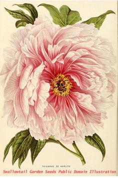 Annales d'horticulture et de botanique, ou Flore des jardins du royaume des Pays-Bas vol.4 (1861) Triomphe de Harlem, peony