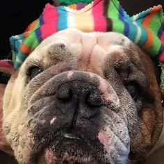 This is one of  Mommy's  happy customers  wearing his new hat!  Isn't  he a looker?  #Englishbulldog #bulliesofinstagram #petclothes #cute #handmade #dogsofinstagram #bulliesofinstagram #bulldognation #doghat #etsysellersofinstagram #handmade #etsysellers by meaty_wildman #lacyandpaws