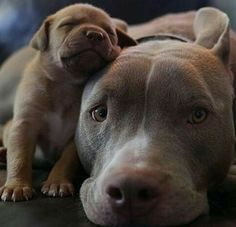 Pit Bull baby with Mama