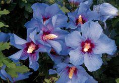 Hibiscus syriacus 'Oiseau Bleu' - Fleurs simples, bleues à coeur rouge