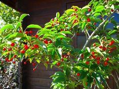 ソヨゴ - 庭木で開運 自分でできる簡単な剪定