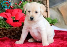 Mind Blowing Facts About Labrador Retrievers And Ideas. Amazing Facts About Labrador Retrievers And Ideas. Labrador Yellow, Yellow Lab Puppies, Puppy Pictures, Dog Photos, Labrador Puppies For Sale, Puppy Classes, Homeless Dogs, Most Popular Dog Breeds, Puppy Care