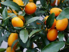 Goldene Kumquat
