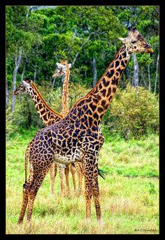 Giraffe Art by A.C.Seinfeld, via Flickr