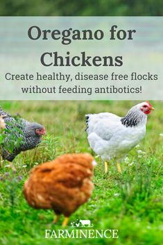 Are you interested in feeding herbs to your chickens? Oregano for chickens has so many health benefits! Oregano oil for chickens is an easy way to boost their immune system and create healthy backyard chickens without antibiotics. Herbs For Chickens, Keeping Chickens, Raising Chickens, Chickens Backyard, Urban Chickens, Diy Toys For Chickens, Treats For Chickens, Protein For Chickens, What To Feed Chickens