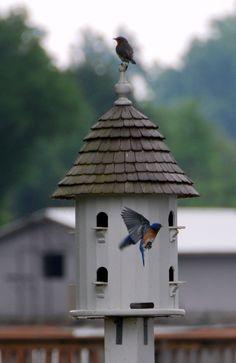 Bluebirds nesting in Lazy Hill Farm Dovecote