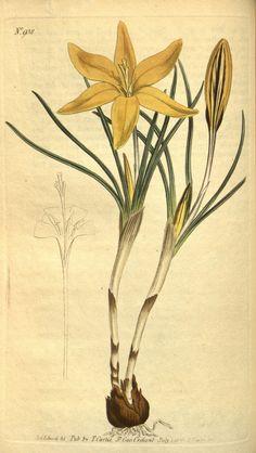 Curtis's botanical magazine.. London ;New York [etc.] :Academic Press [etc.]. biodiversitylibrary.org/page/482740