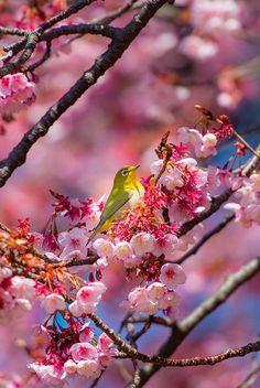 oiseau lunettes perché dans les cerisiers japonais Tokyo, Japan