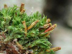 Orthotrichum rogeri Alhavasi szőrössüvegűmoha E.é.: 5000 Ft