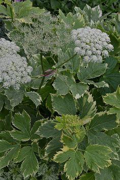 Peucedanum ostruthium 'Daphnis'