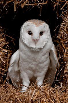 Barn Owl Centre Meet ... Gyzmo looking cutem by bemsca