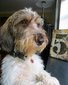 My babydog Petit Basset Griffon Vendeen, Basset Hound, Mans Best Friend, Fern, I Love Dogs, Cute Animals, Earth, Horses, Friends
