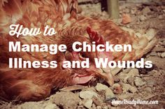 How to Manage Chicken Illness and Wounds