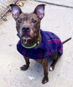 1/3/17 STILL THERE!! SUPER URGENT Manhattan Center PORCHA – A1100550 FEMALE, BR BRINDLE / WHITE, AM PIT BULL TER MIX, 10 yrs OWNER SUR – EVALUATE, NO HOLD Reason LLORDNYCHA Intake condition EXAM REQ Intake Date 12/27/2016, From NY 10026, DueOut Date 12/27/2016, I came in with Group/Litter #K16-085126.