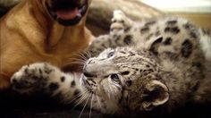 A snow leopard cub and a dog make unlikely play pals. Watch the video: http://www.smithsonianchannel.com/site/sn/show.do?episode=136089