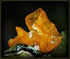snowy amber fungus
