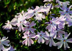 Creeping Phlox Photo Print, Flower Photograph, Home Decor Photography, Floral Photography, Still Life Photograph, Nature Photography, Purple