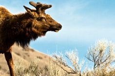 New spring velvet on the Elk in Yellowstone Elk, Wildlife, Velvet, Spring, Animals, Animales, Animaux, Moose, Elks