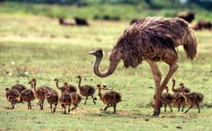 The females will lay their eggs in a communal nest--a simple pit about 12-24 in deep, scraped in the ground by the male ostrich. The nest may have 15 to 60 eggs! (Thats a lot!) here are some baby ostriches with their mamma !!!
