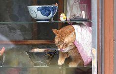 そば屋「やぶ」の休憩時間、手ぬぐいの「のれん」をくぐってショーケースに現れる看板猫のピンク=荒川区町屋(尾崎修二撮影)