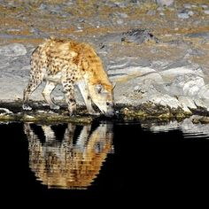 Spotted hyena drinking at Moringa waterhole at Halali camp.  http://www.kruger-2-kalahari.com  Image  from The  Photographer's  Guide  to  Etosha  National Park  eBook #NaturePhotography  #Africa  #Photographic  #Travel #nikon #WildlifePhotography  #PhotoSafari  #Kruger2Kalahari #AfriTravel #eBooks #Wildlife #Etosha #Namibia #nocturnalphotography #sofasafari