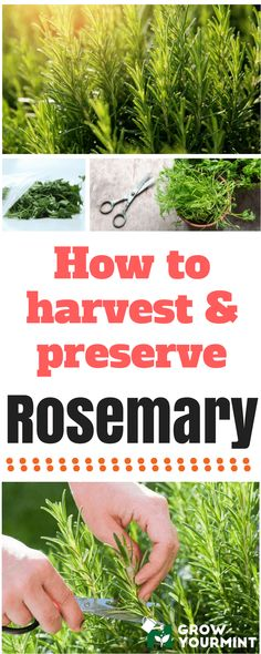 Gardening Herbs Top 6 articles about rosemary plant care - it covers basically everything about growing this plant. You can just find anything you need while growing them here. Organic Gardening Tips, Organic Vegetable Garden, Harvesting Herbs, Plant Care, Garden Guide, Herb Garden, Rosemary Plant Care, Gardening Tips, Organic Gardening