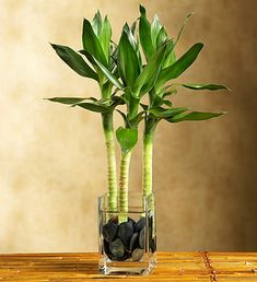 Lucky Bamboo - Three stalks arrive in a glass vase with black pebbles and long and leafy leaves $39.99 #bamboo #plants #green