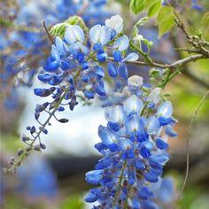Blue Chinese Wisteria Tree | Naturehills.com Wisteria Trellis, Wisteria Tree, White Wisteria, Wisteria Pergola, Wisteria Garden, Wisteria How To Grow, Flower Garden Plans, Flowers Garden, Garden Ideas