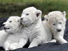 ~~ rare white lion cubs ~~
