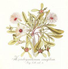 From Nikolaus Joseph von Jacquin's Icones Plantarum Rariorum
