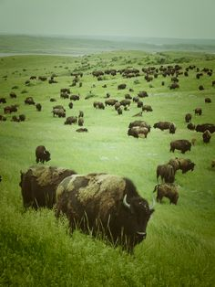 IT'S THEIR WORLD~ WE'RE THE INTRUDERS~  Help Bison Safely Roam!  Right now, bison in Yellowstone National Park are brutally corralled & slaughtered when they migrate out of park boundaries looking for food during the snowy, harsh winter months. Urge Gov Bullock to support the proposed plan to give bison more room to roam! PLZ SIgn & Share.