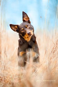 Australian Kelpie Dog Breed Information, Beliebte Bilder - Dogs - Hunde I Love Dogs, Cute Dogs, Herding Dogs, West Highland Terrier, Mundo Animal, Hamsters, Dog Portraits, Dog Photos, Cute Dog Pictures