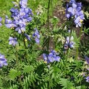 June Star Plant. Click image to learn more, get care advice reminders and add to your plants lists in Shoot. Polemonium caeruleum Other names: Jacob's ladder Genus: Polemonium Species: P. caeruleum - P. caeruleum is a clump-forming perennial with upright stems bearing pinnate, green foliage. Throughout summer it has clusters of bell-shaped, violet-blue or white flowers.
