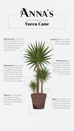 Featuring Yucca Cane: Timeless Foliage - Anna's | Garden, Home & Wellness Yucca Plant Indoor, Yucca Plant Care, House Plant Care, Indoor Plants, Indoor Gardening, Air Plants, Cactus Plants, Plantas Indoor, Plant Guide