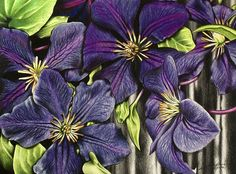 Clematis - Colored Pencil Drawing by beautyinmetal AKA 'M' from S Photography, via Flickr