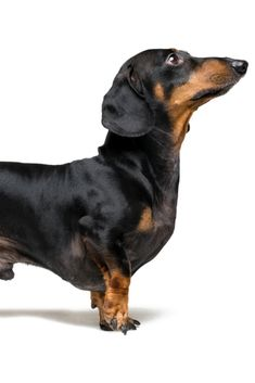 A manipulated image of a very short #dachshund dog (puppy), black and tan on isolated on white background