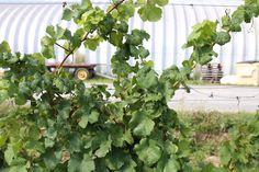 Rosehall Winery, Prince Edward County, Ontario, Canada