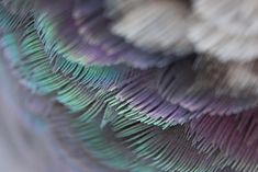 Wood pigeon plumage