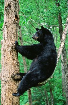 Female Black Bear... oh hey... I'm just sitting here in a tree relaxin' and stuff.