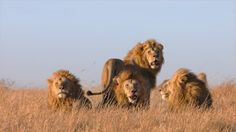 """These four lions may look majestic and nice, but context and Sam Jackson narration actually establishes them as the power-hungry villains of Disneynature's """"African Cats."""" -- Disneynature's African Cats Blu-ray + DVD Review"""